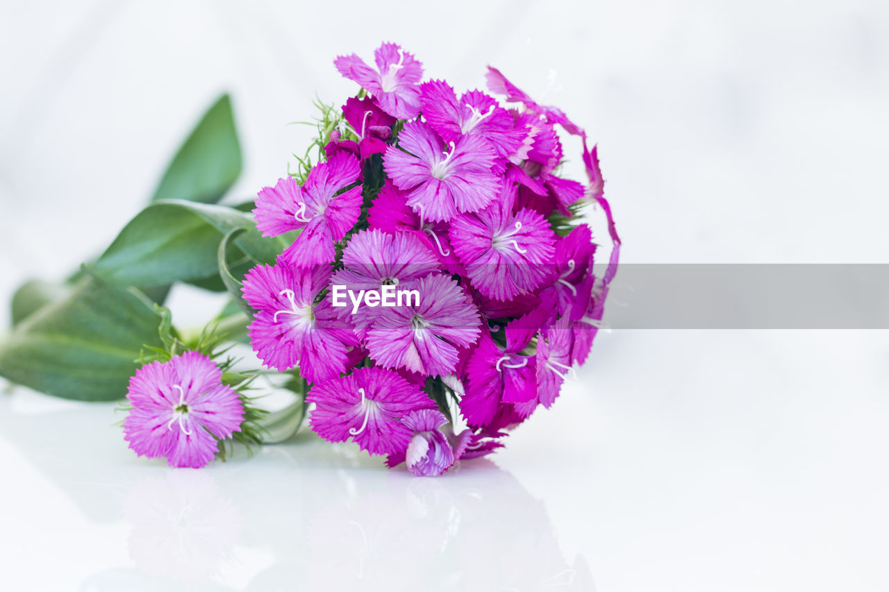 flower, petal, fragility, freshness, flower head, beauty in nature, nature, close-up, white background, purple, plant, no people, growth, studio shot, pink color, springtime, blooming, day, outdoors, periwinkle