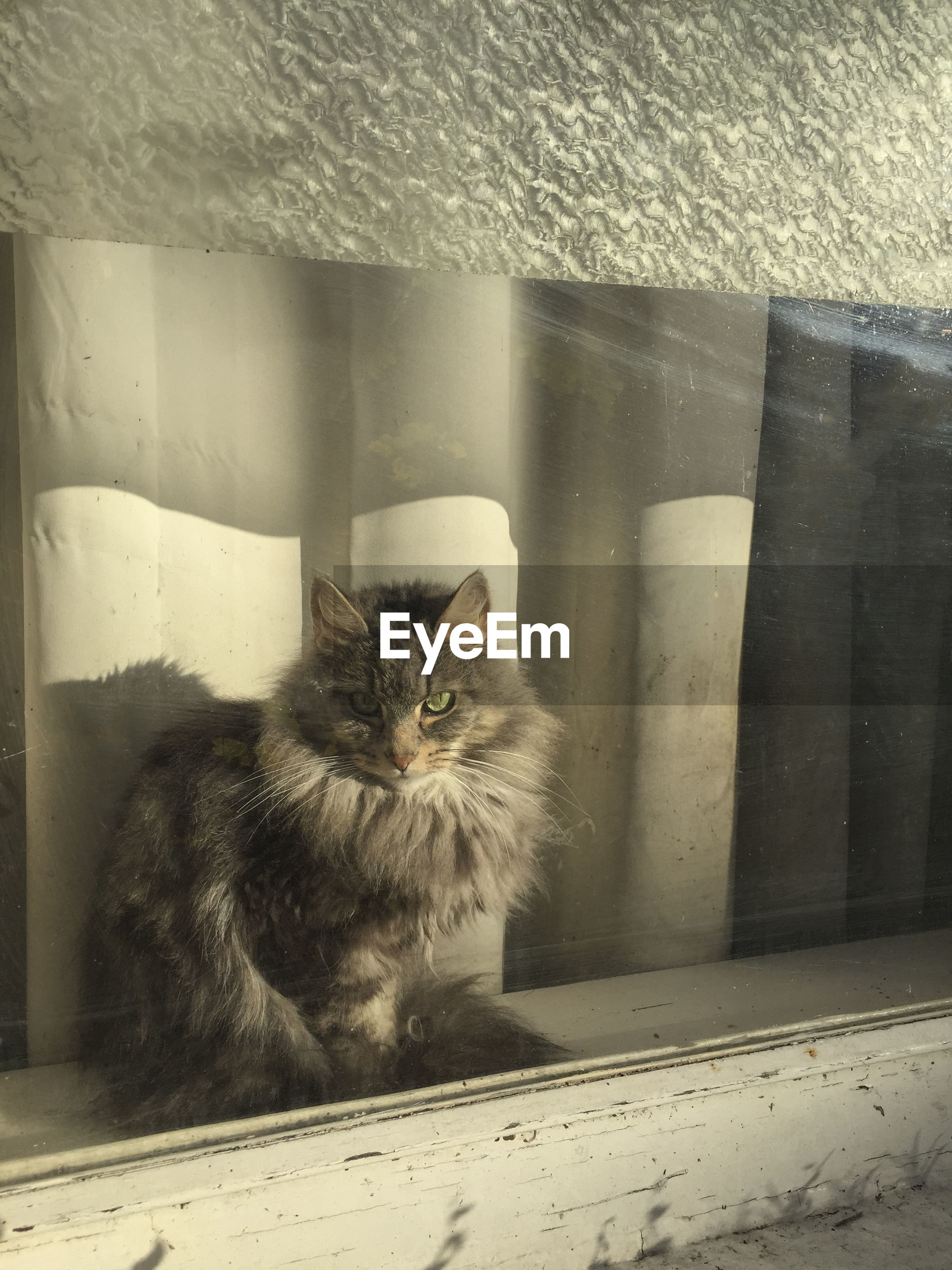 Maine coon on window sill seen from glass