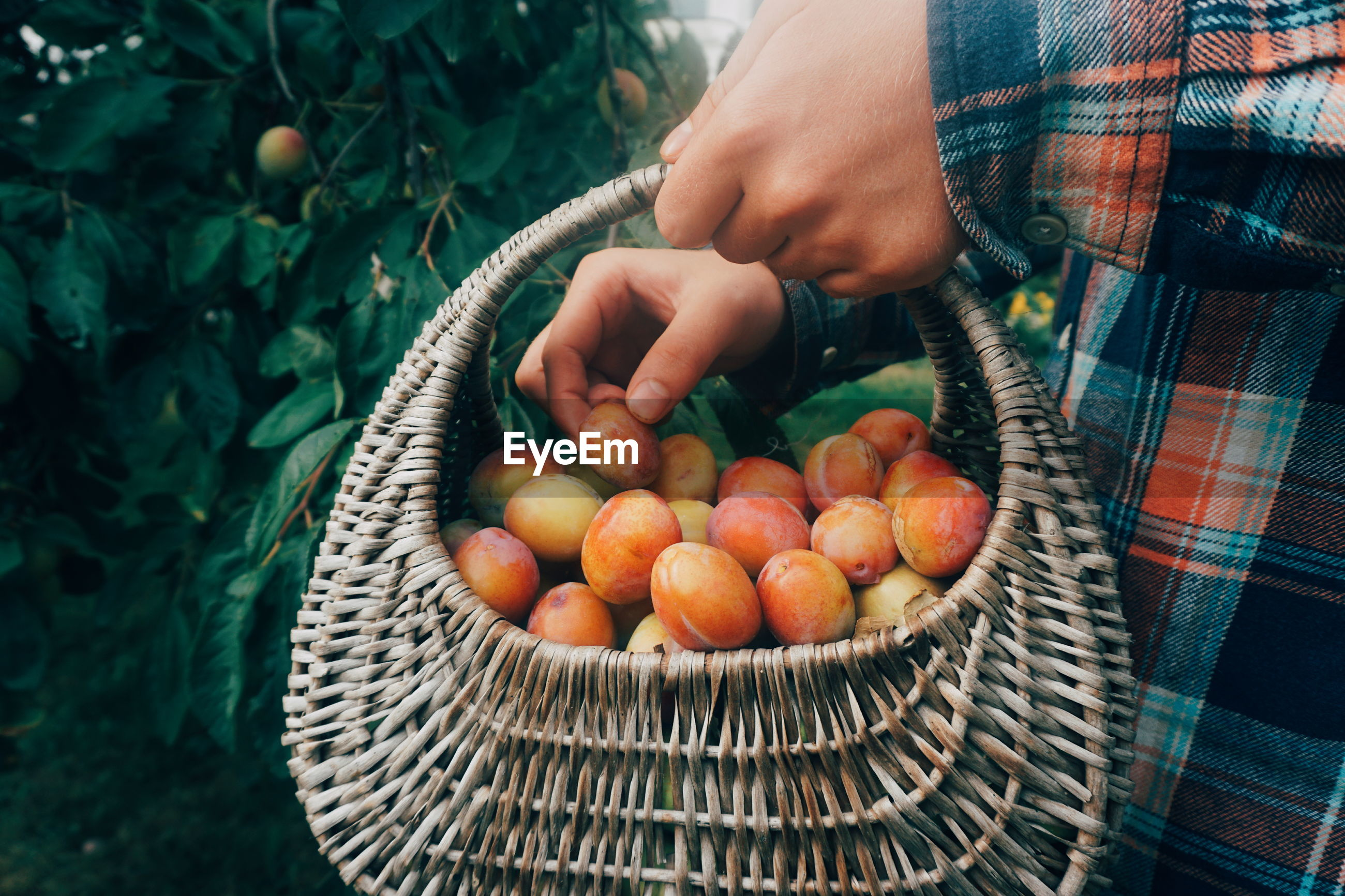 Midsection of man picking plums in basket
