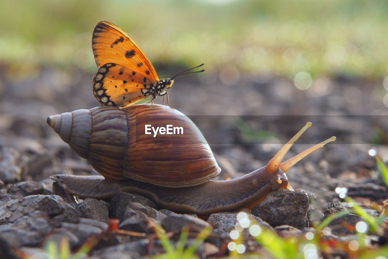 Close-Up Of Butterfly On Snail At Field
