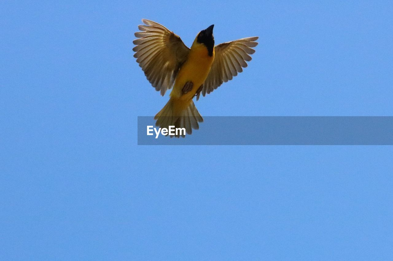 flying, spread wings, bird, copy space, clear sky, animals in the wild, mid-air, one animal, low angle view, blue, animal themes, animal wildlife, no people, nature, motion, day, outdoors, beauty in nature, bird of prey, sky