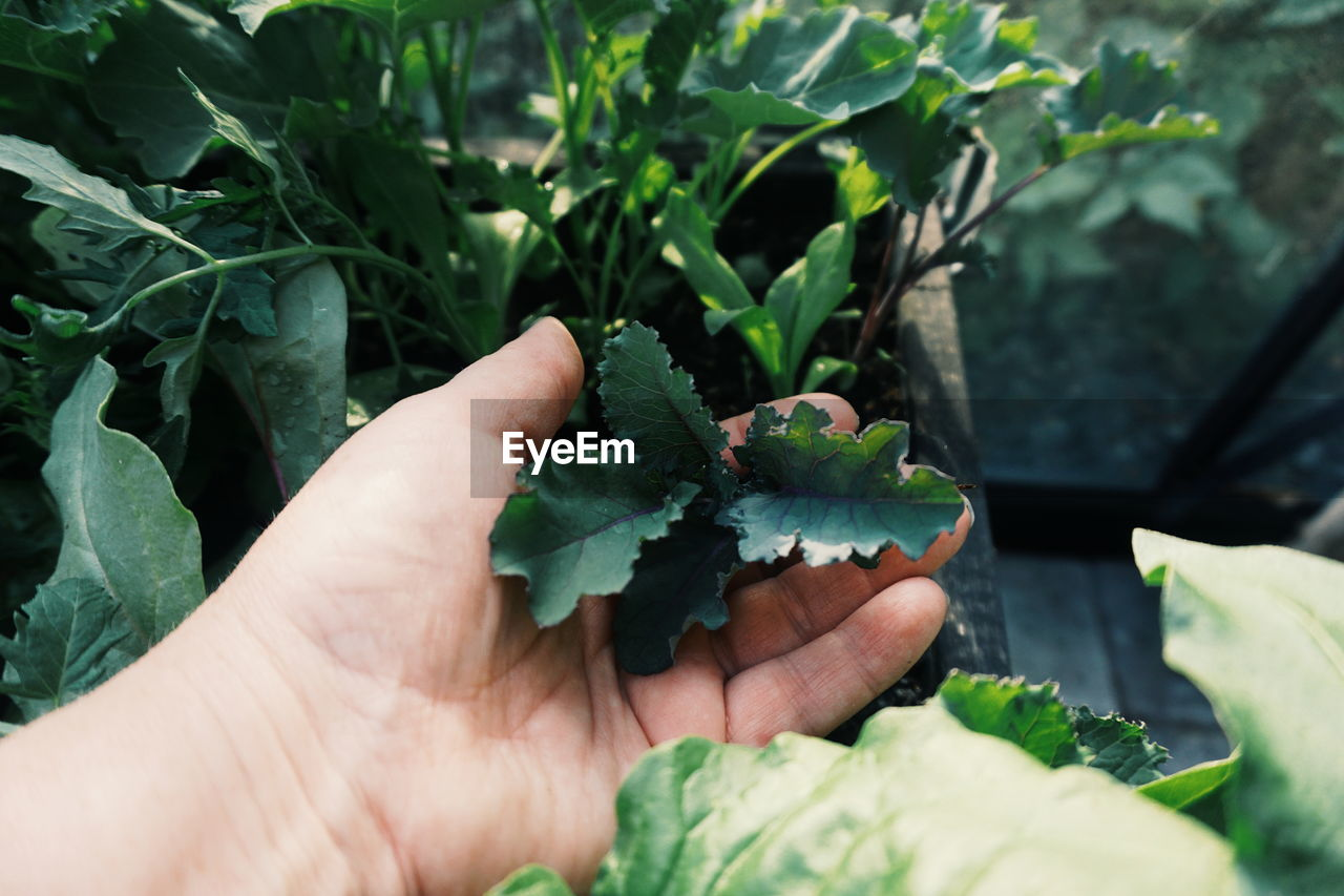 human hand, hand, leaf, human body part, plant part, holding, one person, green color, real people, unrecognizable person, plant, nature, lifestyles, growth, food and drink, day, body part, food, freshness, finger, outdoors, mint leaf - culinary, leaves, human limb