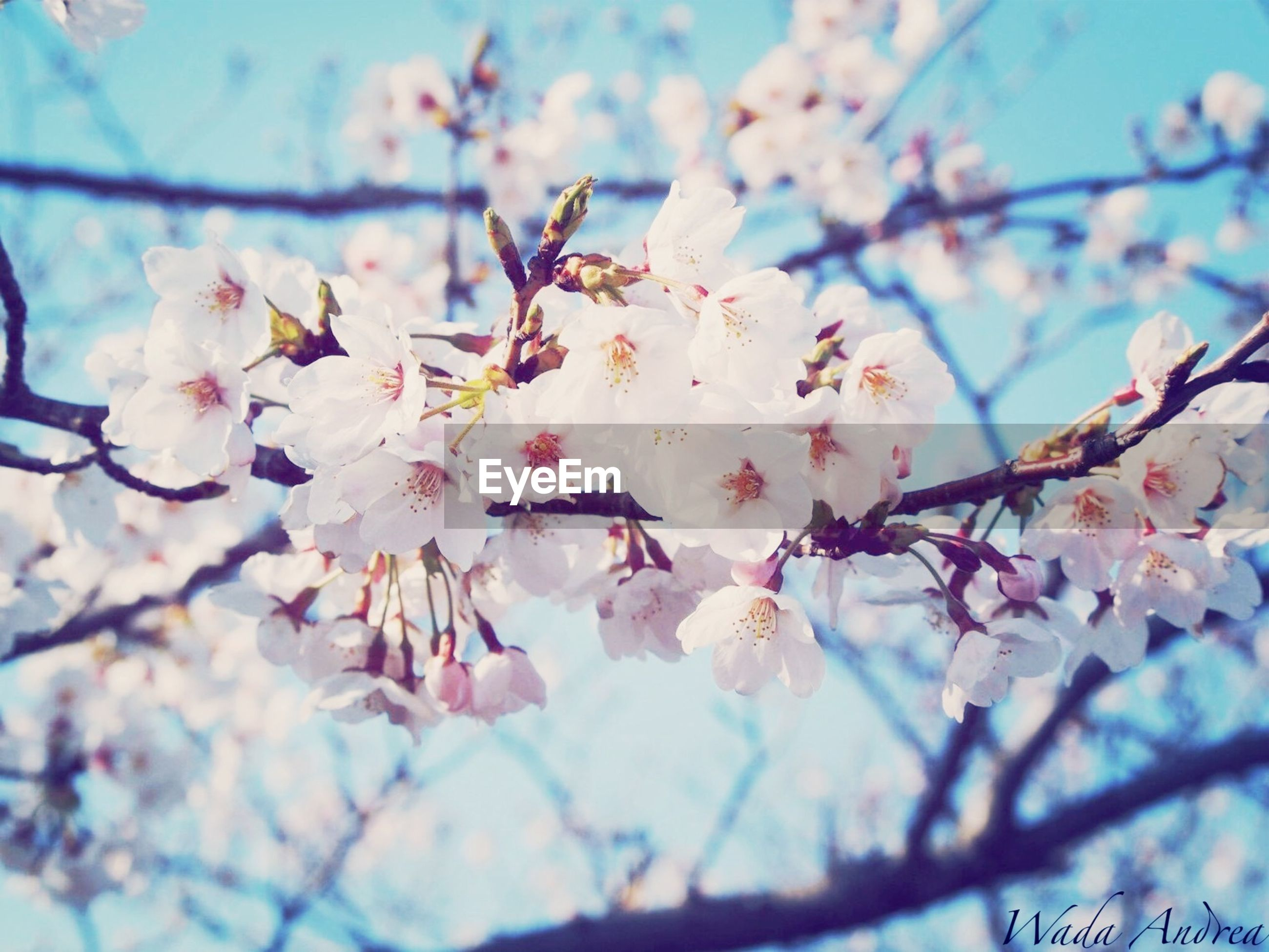 flower, branch, freshness, fragility, cherry blossom, tree, growth, beauty in nature, focus on foreground, cherry tree, blossom, nature, low angle view, petal, close-up, twig, springtime, fruit tree, blooming, in bloom