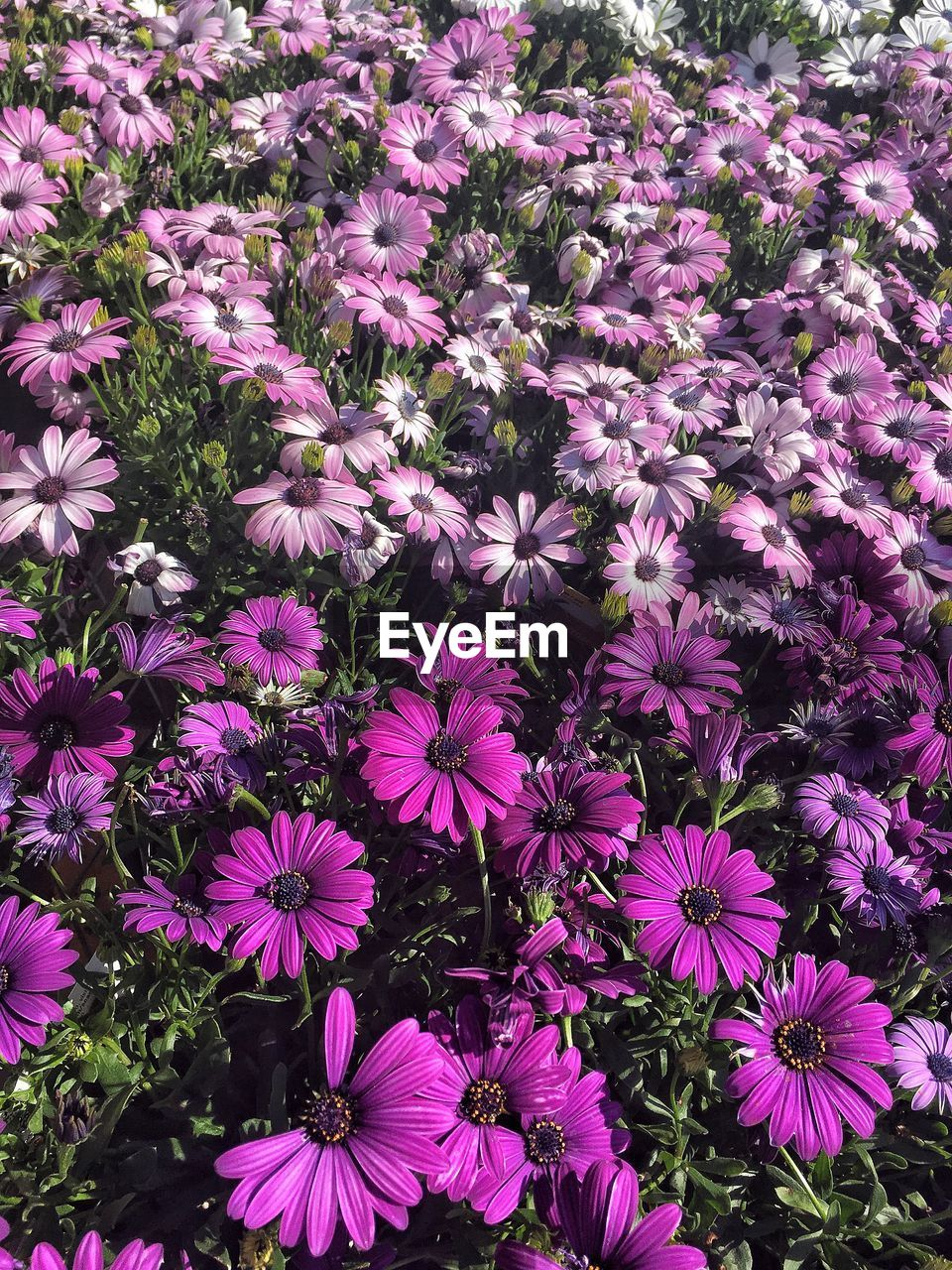 flower, purple, fragility, growth, petal, beauty in nature, nature, high angle view, no people, freshness, plant, blooming, day, flower head, outdoors, osteospermum, backgrounds, eastern purple coneflower, close-up