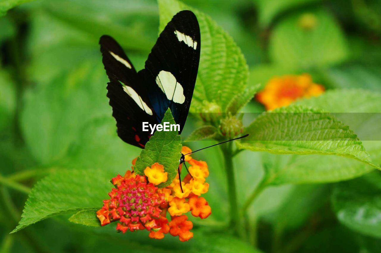 plant, flower, beauty in nature, plant part, freshness, leaf, vulnerability, close-up, flowering plant, growth, butterfly - insect, nature, fragility, animal wing, green color, lantana, no people, focus on foreground, insect, day, flower head, outdoors, pollination