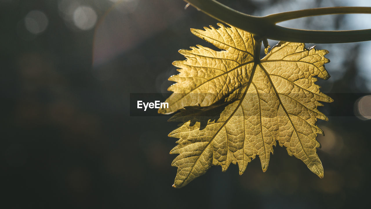 leaf, plant part, autumn, change, close-up, nature, focus on foreground, plant, no people, leaves, beauty in nature, maple leaf, day, outdoors, tree, leaf vein, sunlight, yellow, maple tree, selective focus, natural condition