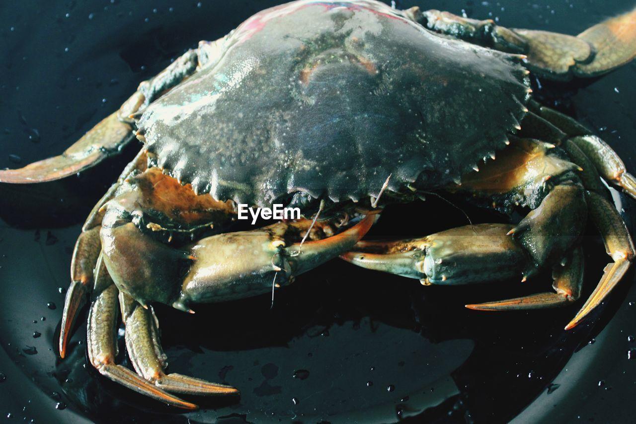 Mud crab isolated close up