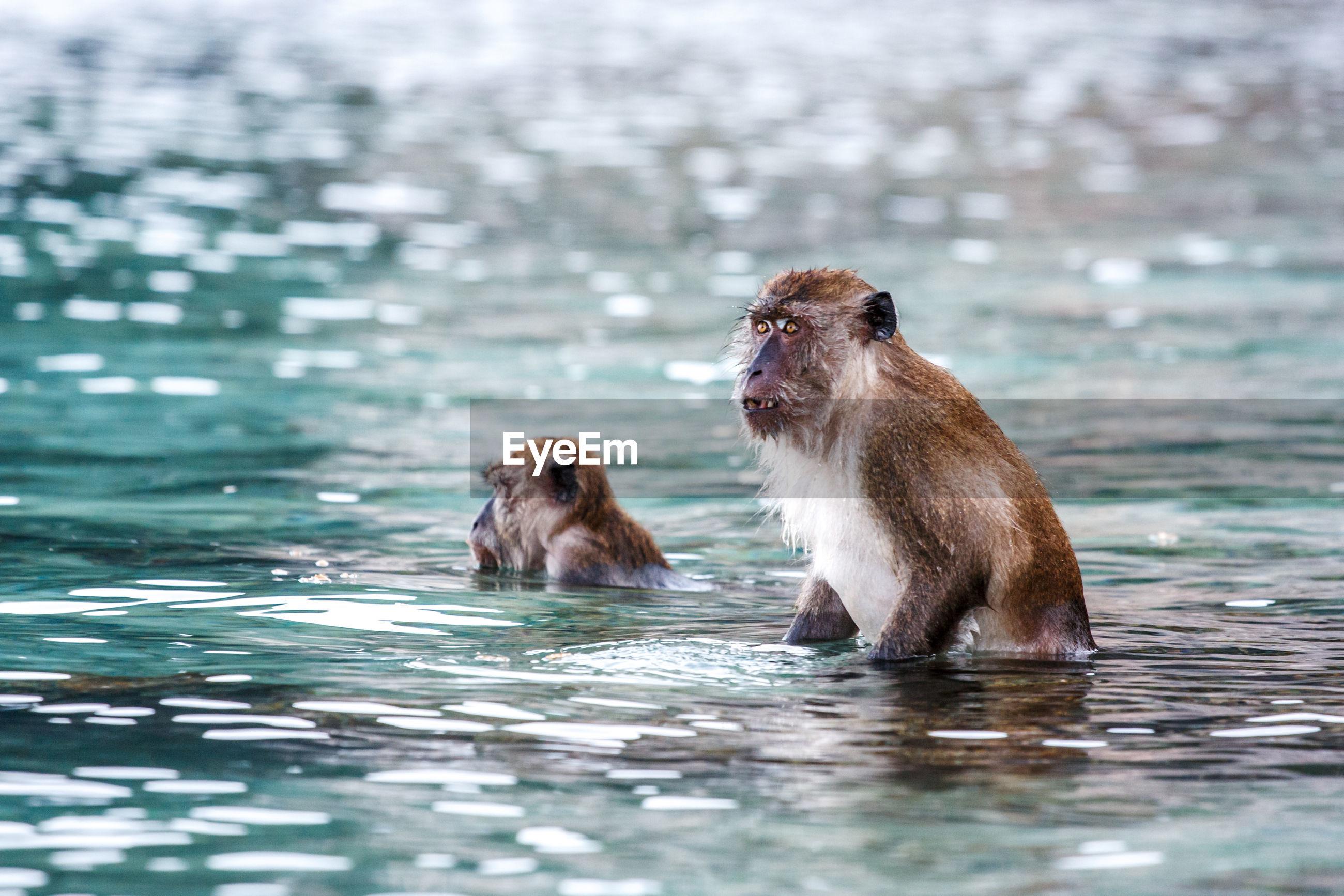 Monkeys swimming in lake