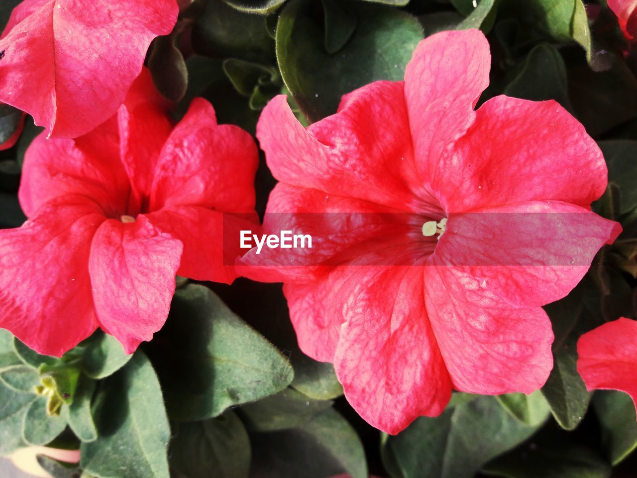 petal, flower, fragility, beauty in nature, nature, flower head, growth, pink color, freshness, blooming, plant, no people, outdoors, day, close-up, hibiscus, petunia