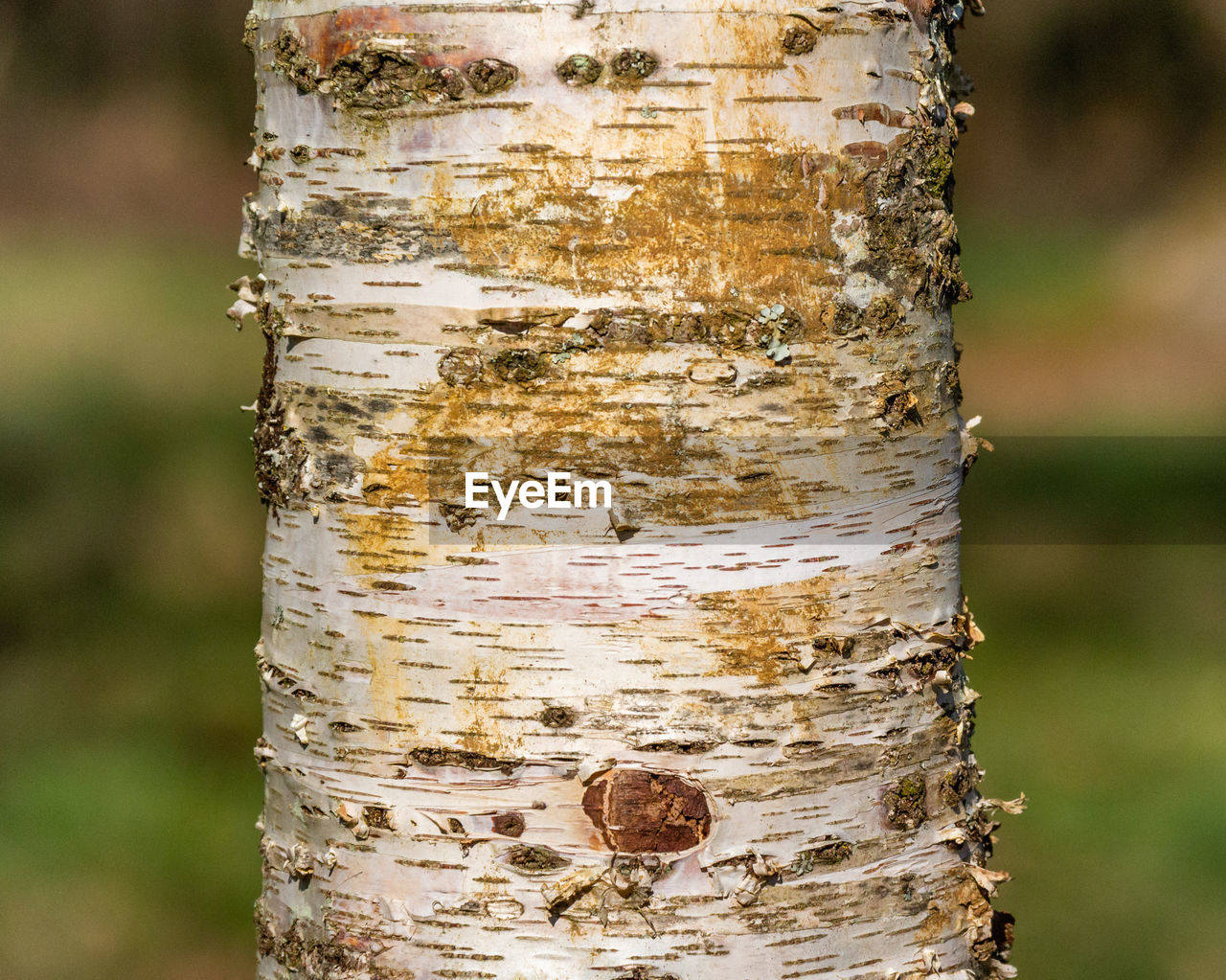 tree trunk, trunk, focus on foreground, tree, close-up, day, nature, no people, textured, plant, outdoors, pattern, plant bark, wood - material, growth, rough, bark, land, forest, weathered