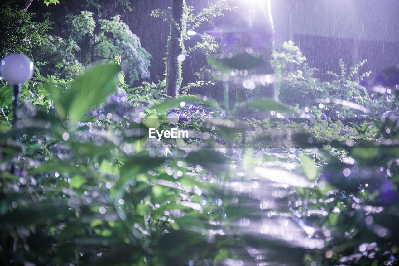 plant, nature, selective focus, growth, day, beauty in nature, sunlight, no people, freshness, vulnerability, close-up, fragility, flower, sunbeam, purple, flowering plant, water, outdoors, lens flare, green color