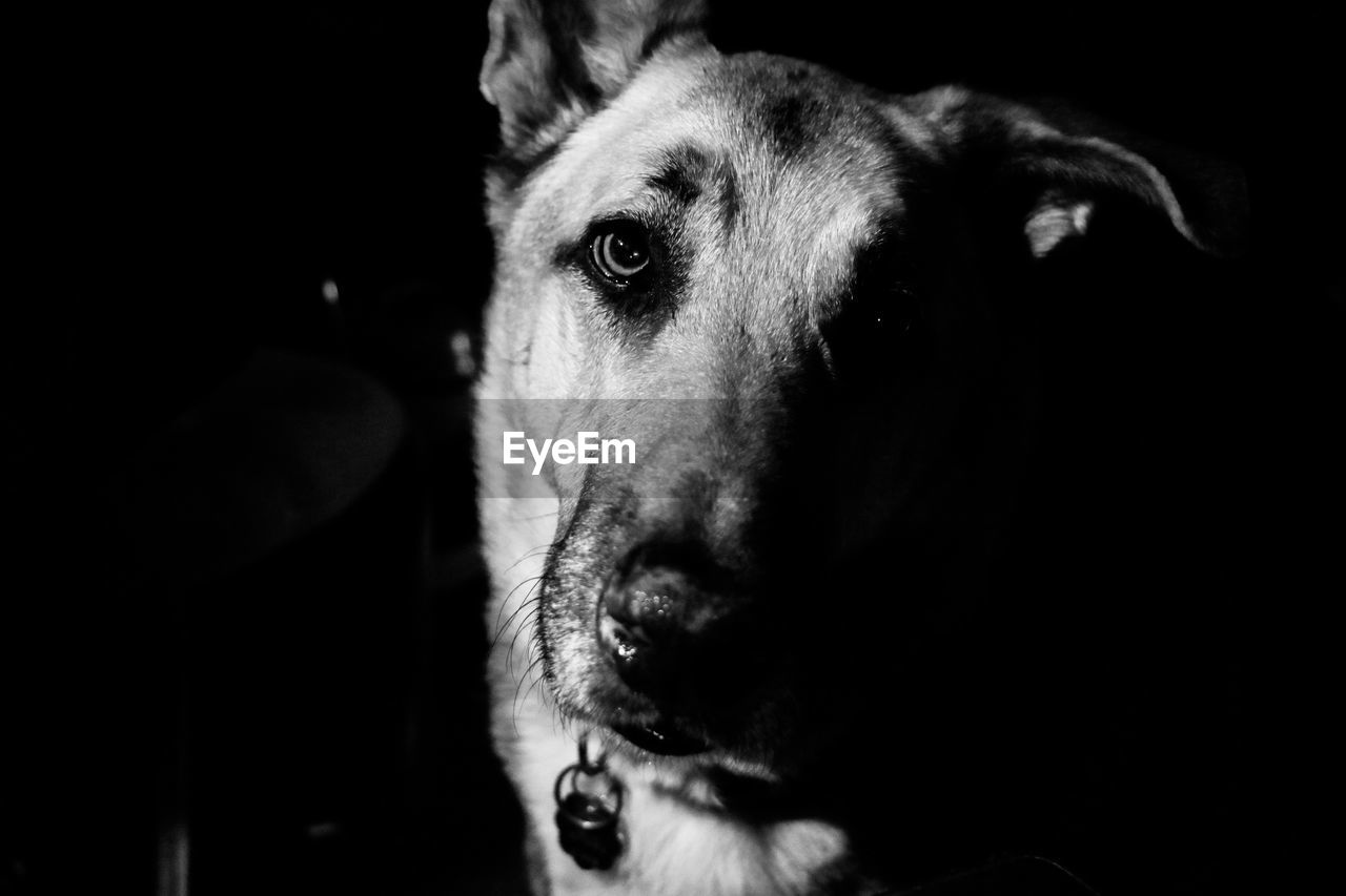 one animal, domestic, pets, domestic animals, animal themes, mammal, dog, canine, animal, vertebrate, animal body part, close-up, portrait, indoors, looking at camera, animal head, no people, focus on foreground, black background, animal eye, snout, animal mouth, animal nose
