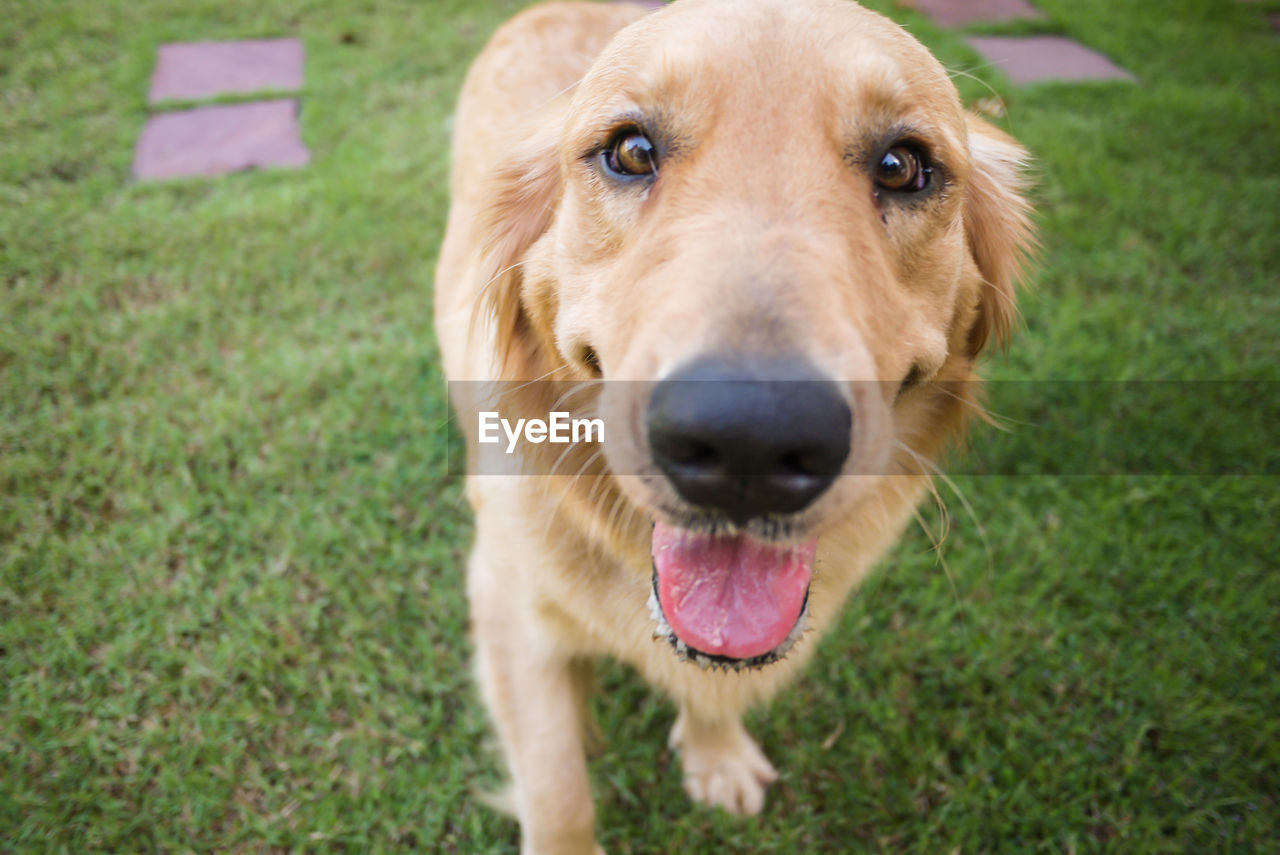 one animal, dog, canine, mammal, animal, animal themes, domestic, pets, domestic animals, portrait, looking at camera, grass, animal body part, mouth, mouth open, close-up, no people, high angle view, day, golden retriever, animal head, animal tongue, panting, animal mouth, snout