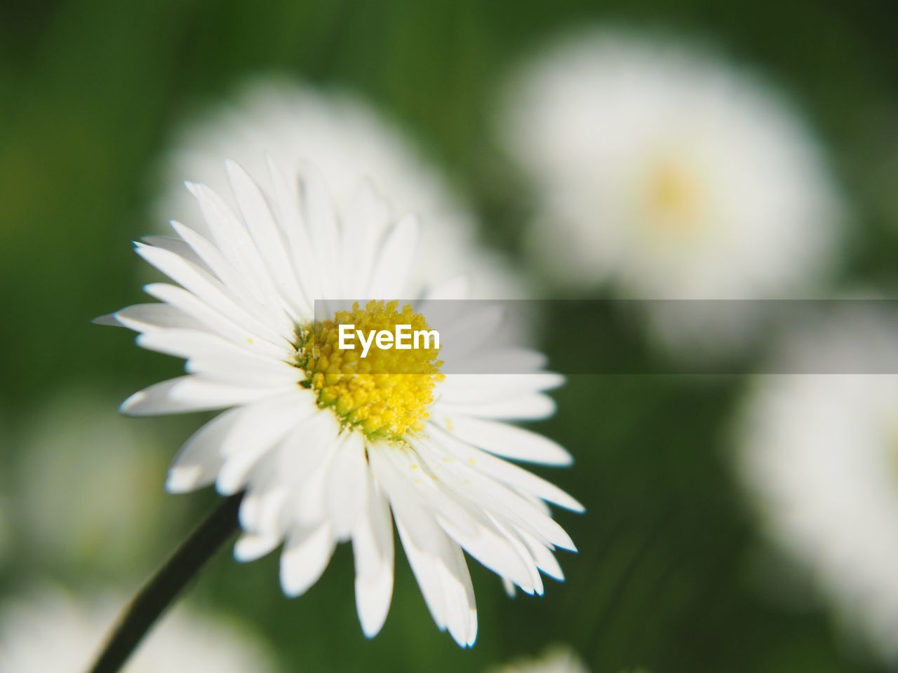 flower, flowering plant, petal, fragility, freshness, vulnerability, plant, beauty in nature, flower head, close-up, inflorescence, white color, growth, focus on foreground, daisy, pollen, yellow, selective focus, no people, day
