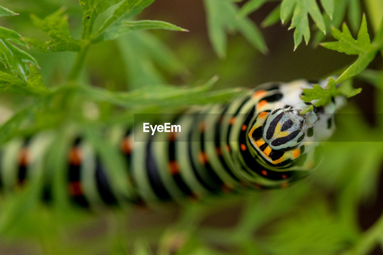 green color, close-up, selective focus, plant, plant part, nature, growth, leaf, day, one animal, beauty in nature, no people, animal themes, animal, caterpillar, focus on foreground, outdoors, invertebrate, animal wildlife, animals in the wild