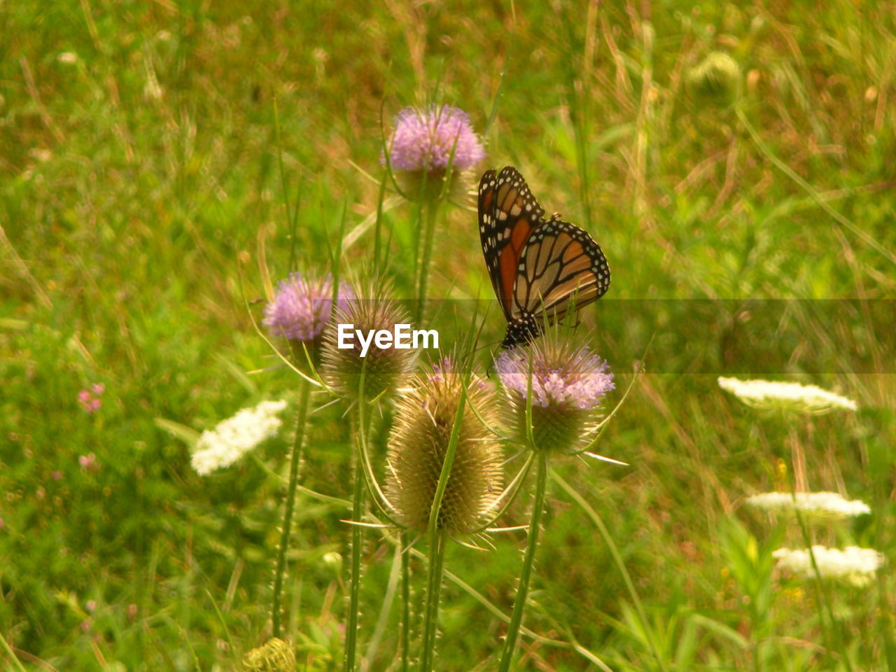 flower, plant, flowering plant, beauty in nature, fragility, growth, vulnerability, freshness, flower head, nature, inflorescence, close-up, no people, green color, thistle, petal, land, day, field, focus on foreground, outdoors, purple, pollination, butterfly - insect