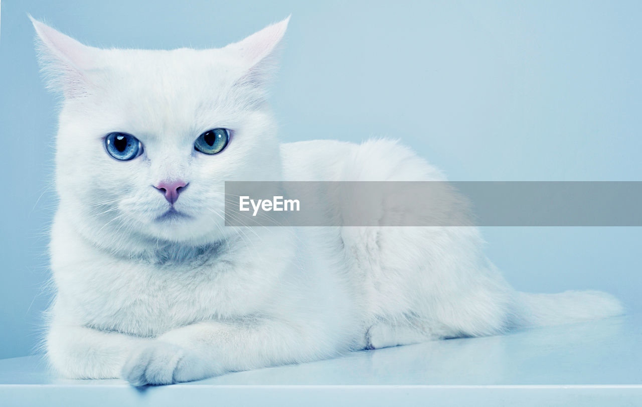 pets, domestic cat, white color, domestic animals, one animal, mammal, animal themes, feline, white background, portrait, no people, indoors, close-up, day