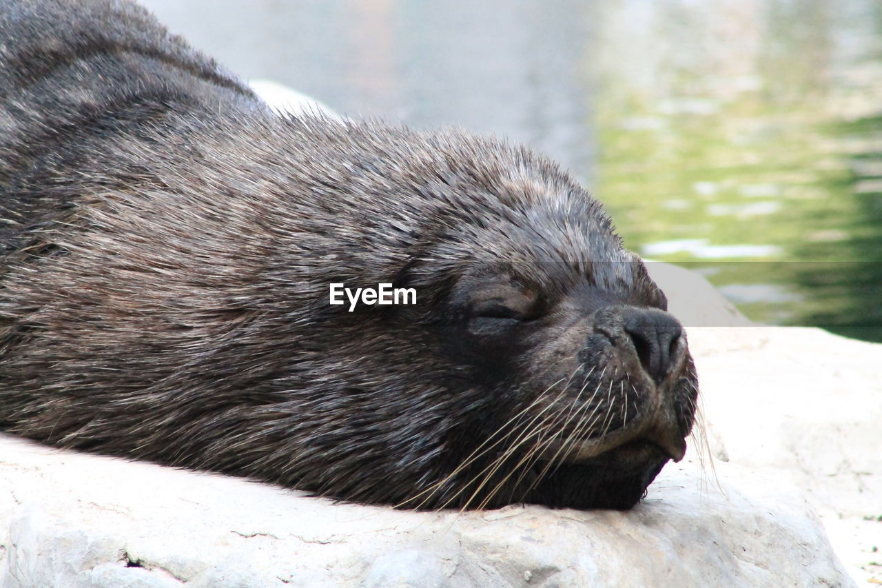 one animal, animal, animal themes, animal wildlife, animals in the wild, mammal, close-up, underwater, no people, day, vertebrate, focus on foreground, nature, relaxation, whisker, outdoors, rock, animal head, animal body part, eyes closed, seal - animal