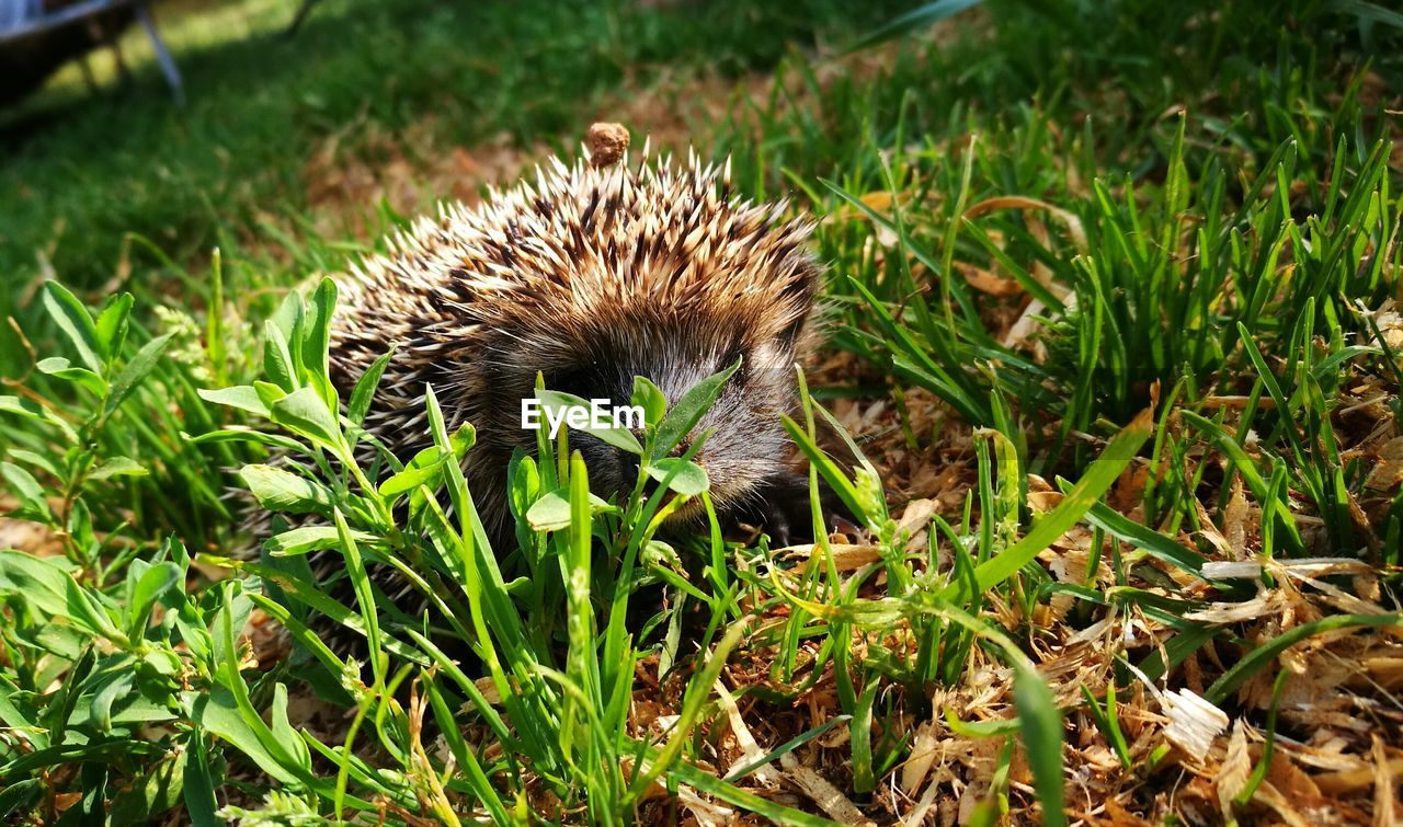 animal themes, one animal, animal, plant, grass, green color, field, hedgehog, mammal, animal wildlife, land, nature, no people, animals in the wild, vertebrate, day, growth, close-up, sunlight, outdoors