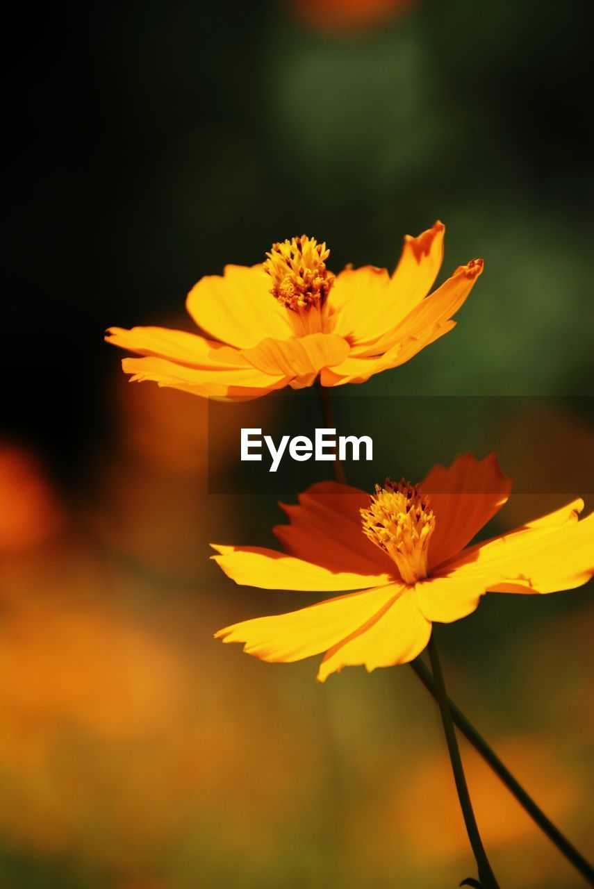 flower, yellow, petal, nature, growth, beauty in nature, flower head, fragility, freshness, no people, plant, outdoors, blooming, close-up, cosmos flower, day