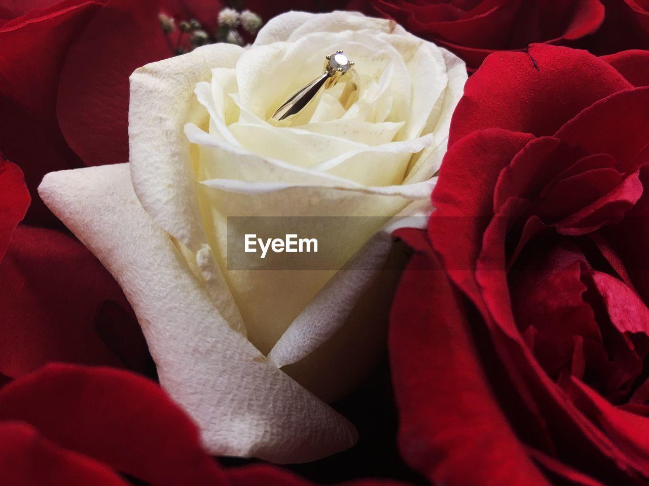 Diamond ring on white rose