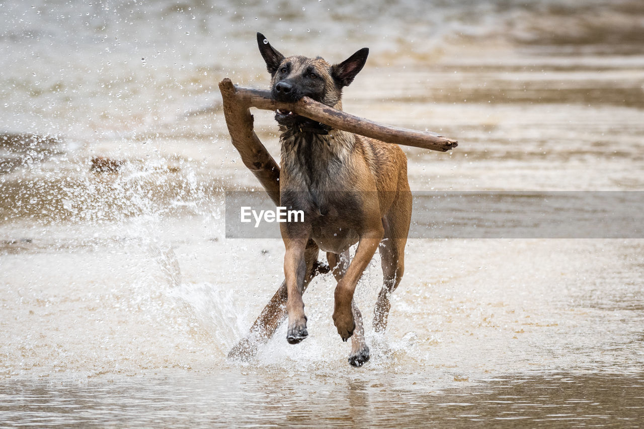 DOG RUNNING IN A WATER