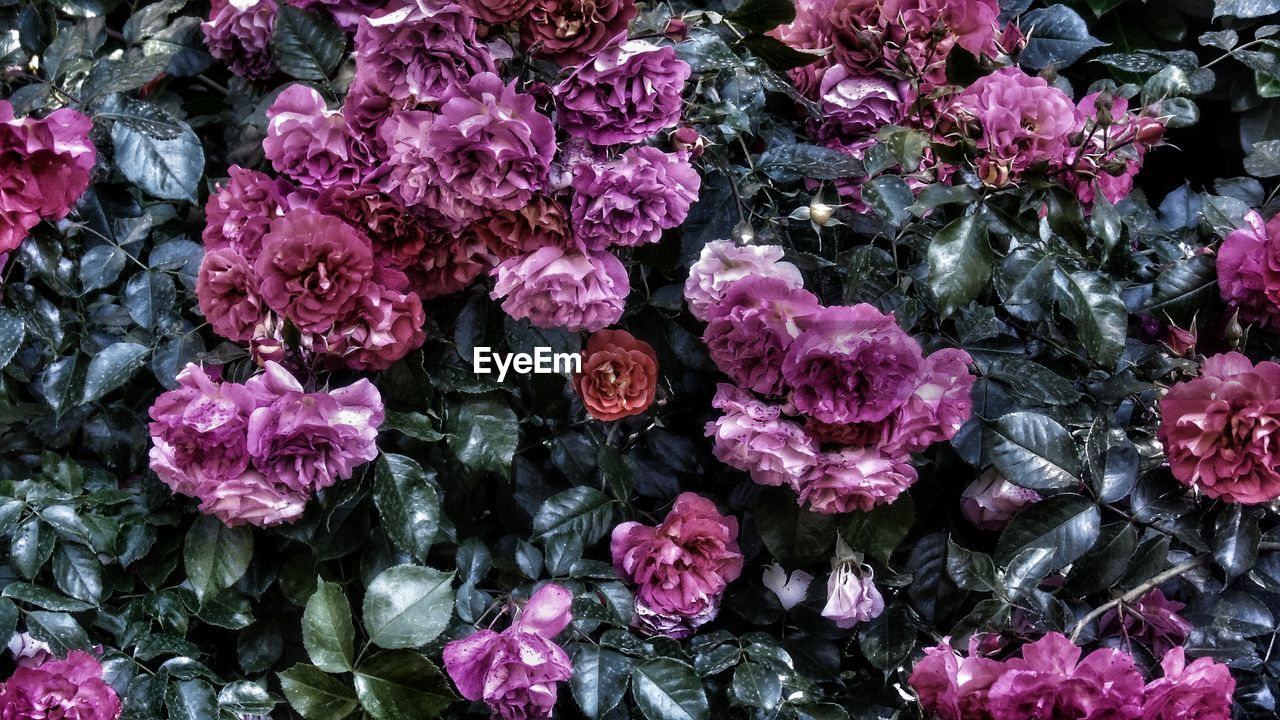 flower, growth, nature, purple, beauty in nature, fragility, petal, no people, pink color, freshness, flower head, outdoors, day