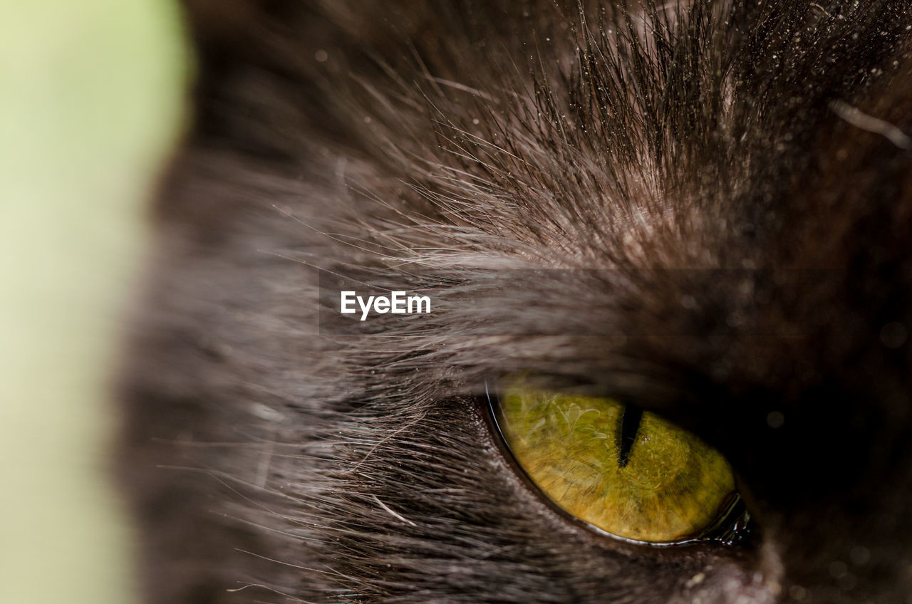 Extreme close-up of black cat