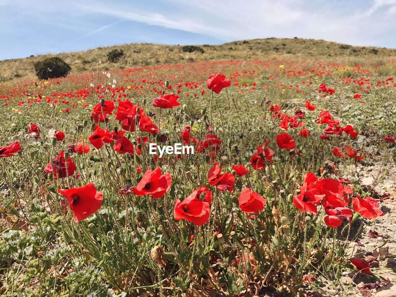 Close-Up Of Poppies Growing In Field Against Sky