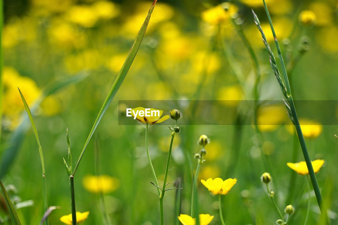 flower, flowering plant, plant, freshness, growth, fragility, vulnerability, beauty in nature, yellow, close-up, field, land, petal, nature, no people, plant stem, focus on foreground, inflorescence, flower head, selective focus, blade of grass