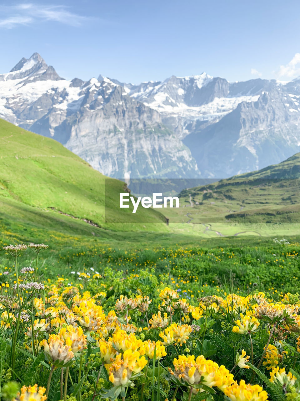 SCENIC VIEW OF FLOWERING FIELD AGAINST MOUNTAINS