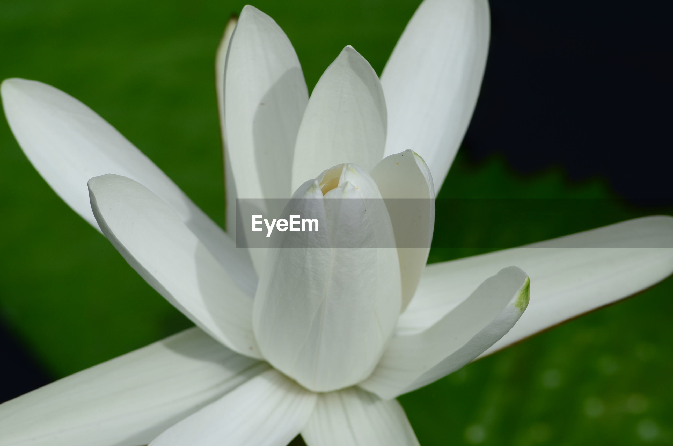 CLOSE-UP OF WHITE LILY OF PLANT