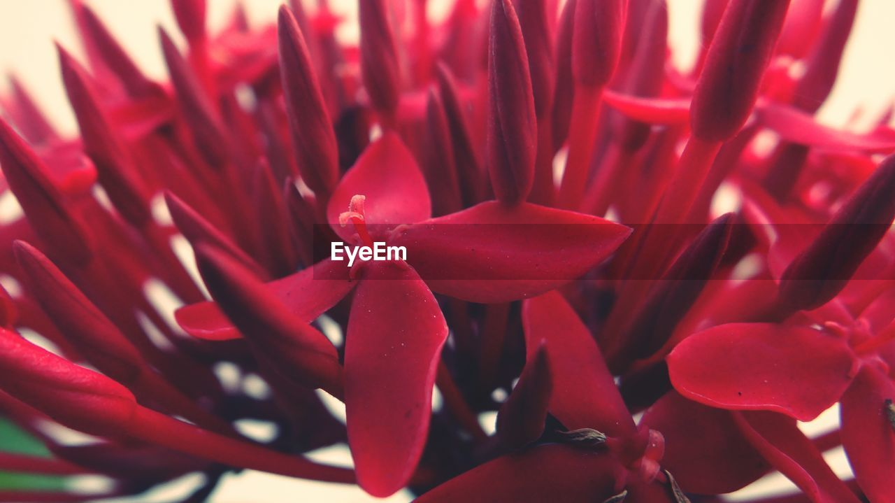 red, flower, growth, beauty in nature, petal, nature, fragility, freshness, close-up, flower head, plant, blooming, no people, day, outdoors