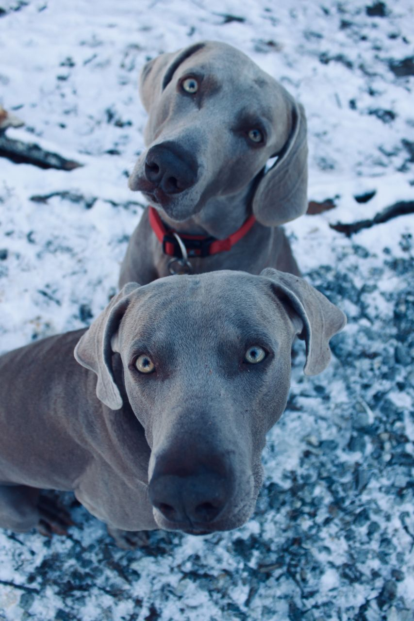 canine, mammal, dog, animal themes, animal, domestic, domestic animals, one animal, pets, snow, winter, vertebrate, cold temperature, portrait, looking at camera, weimaraner, day, looking, no people