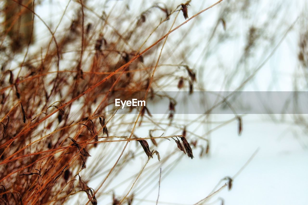 winter, nature, cold temperature, snow, tranquility, focus on foreground, beauty in nature, no people, tree, day, branch, outdoors, growth, close-up