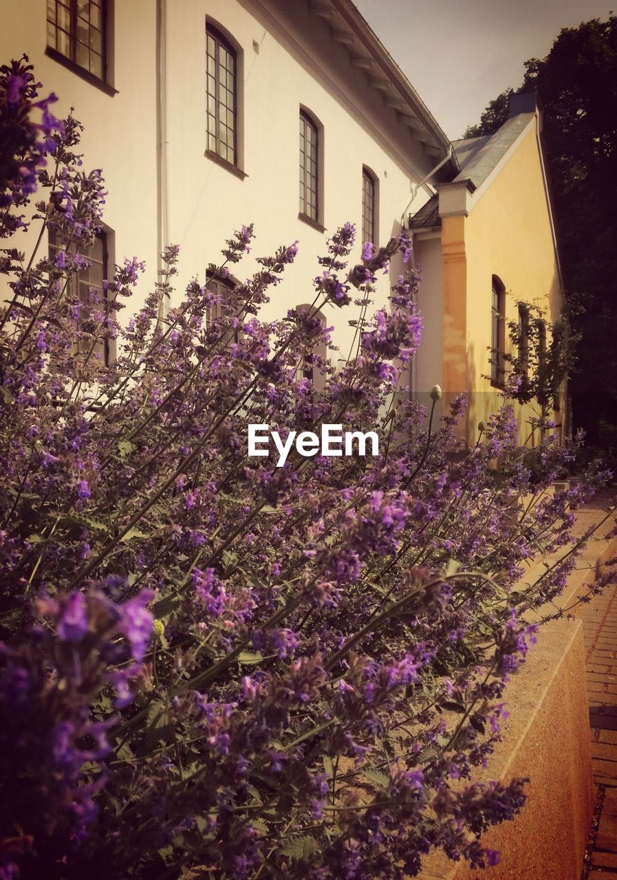 building exterior, built structure, architecture, flowering plant, flower, plant, building, house, nature, growth, purple, freshness, residential district, day, outdoors, front or back yard, beauty in nature, vulnerability, city, no people