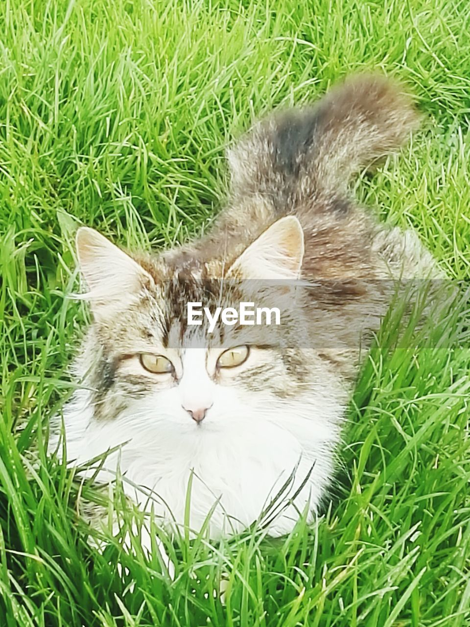 grass, cat, feline, domestic cat, pets, domestic, domestic animals, animal themes, mammal, animal, plant, vertebrate, green color, field, nature, one animal, land, no people, relaxation, portrait, whisker