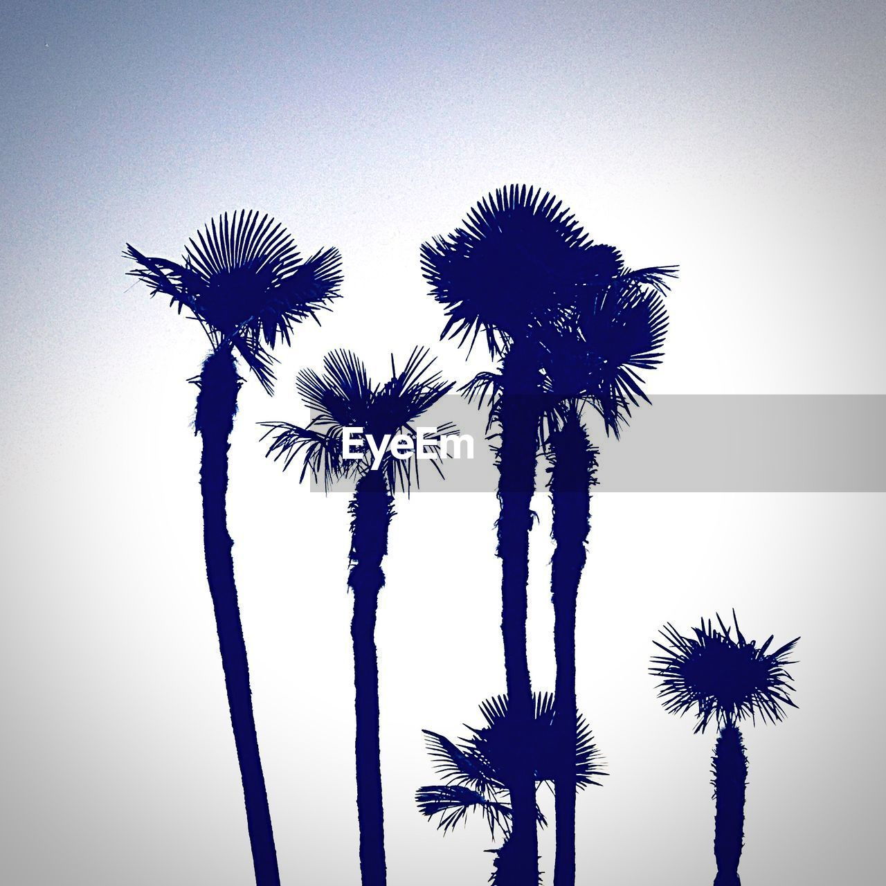 sky, plant, palm tree, tropical climate, growth, low angle view, tree, nature, beauty in nature, no people, clear sky, silhouette, tranquility, outdoors, tree trunk, trunk, tall - high, scenics - nature, day, plant stem, tropical tree, coconut palm tree, flower head