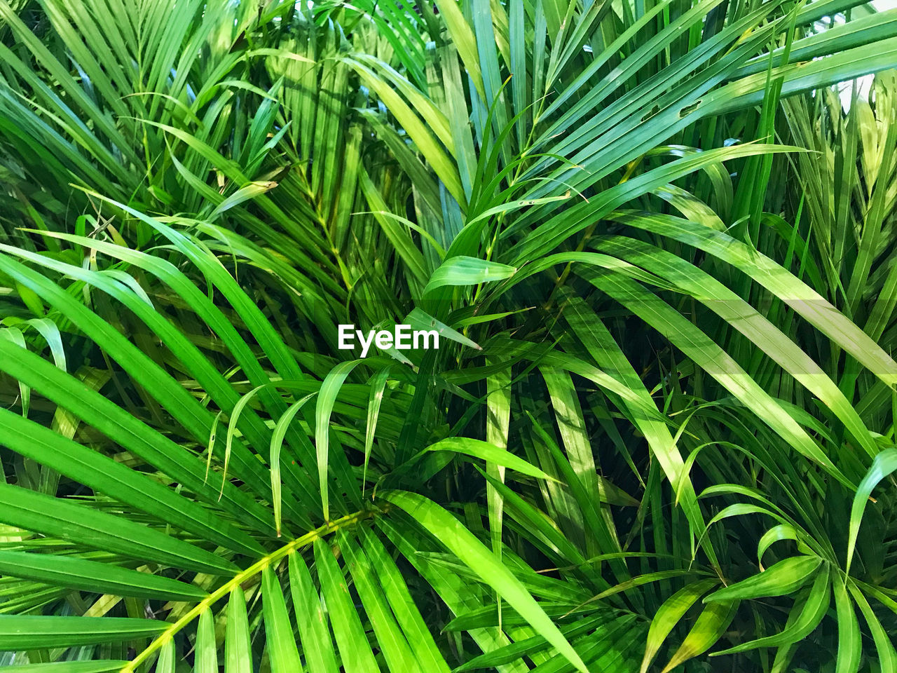 green color, growth, plant, leaf, plant part, beauty in nature, nature, close-up, day, backgrounds, no people, full frame, tranquility, outdoors, freshness, land, field, herb, grass, botany, palm leaf, blade of grass