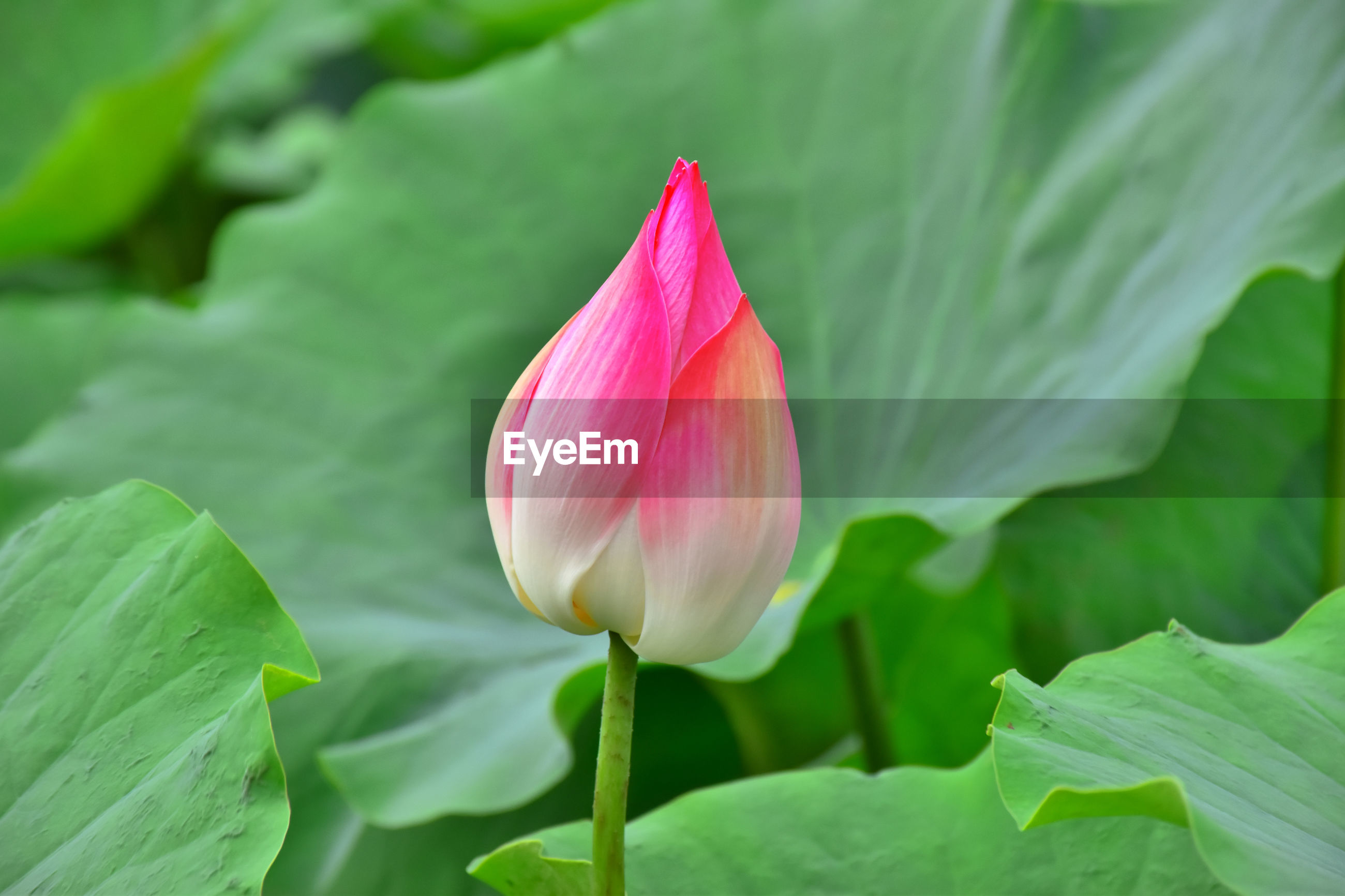 CLOSE-UP OF PINK LOTUS WATER LILY IN LEAF