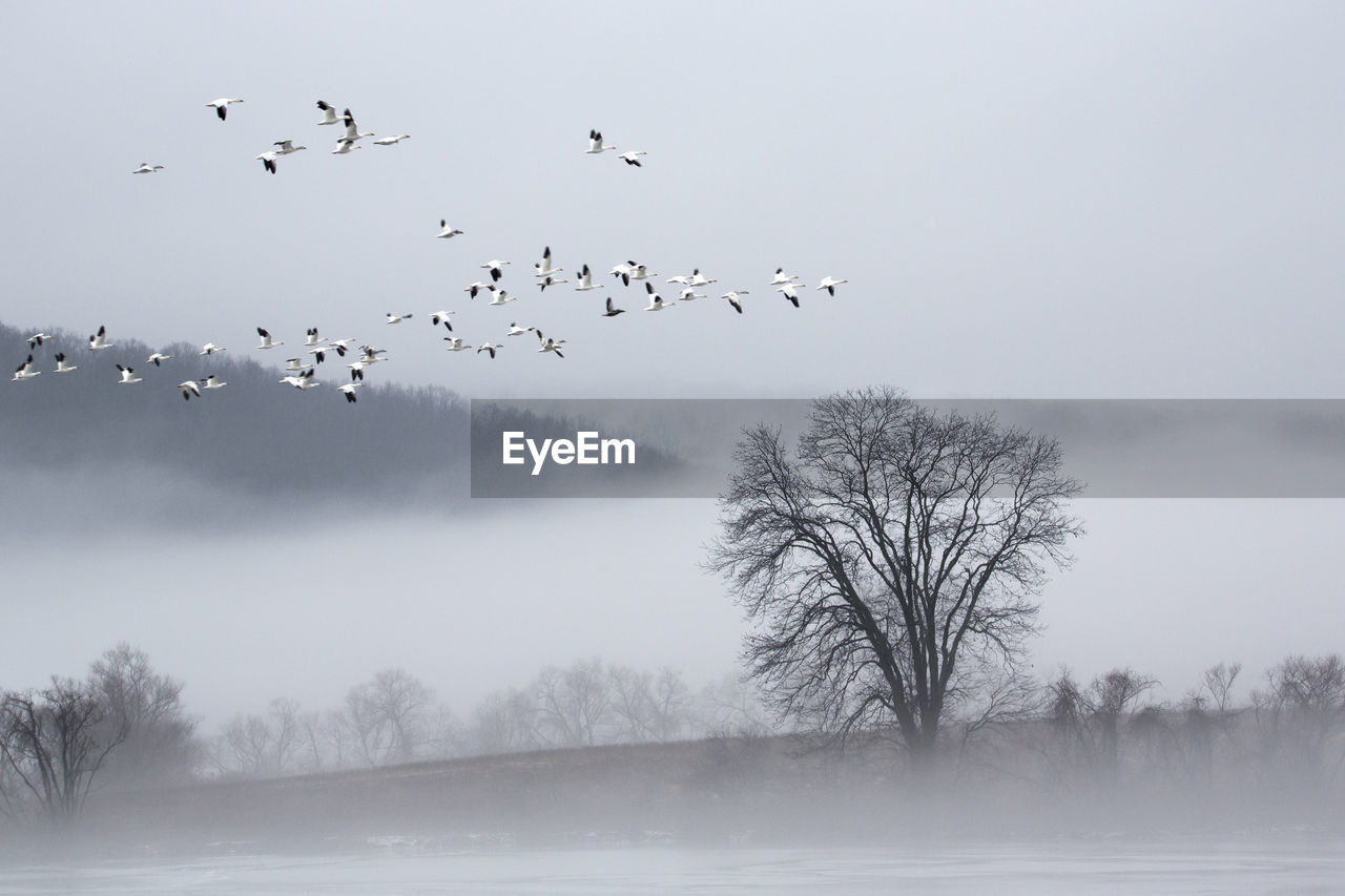 animal themes, animal, vertebrate, bird, animal wildlife, flying, animals in the wild, group of animals, large group of animals, tree, sky, flock of birds, beauty in nature, nature, plant, no people, bare tree, scenics - nature, fog, outdoors