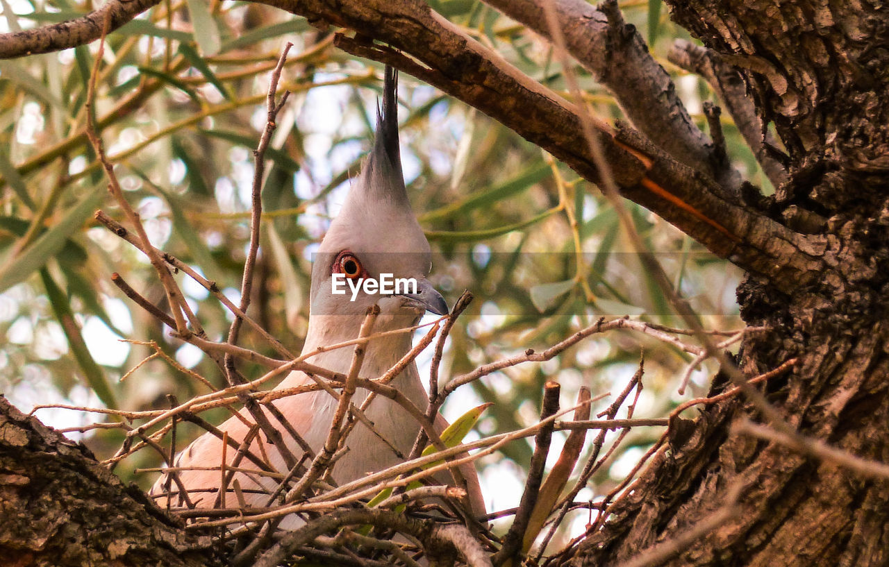 Close-Up Of Crested Pigeon On Nest