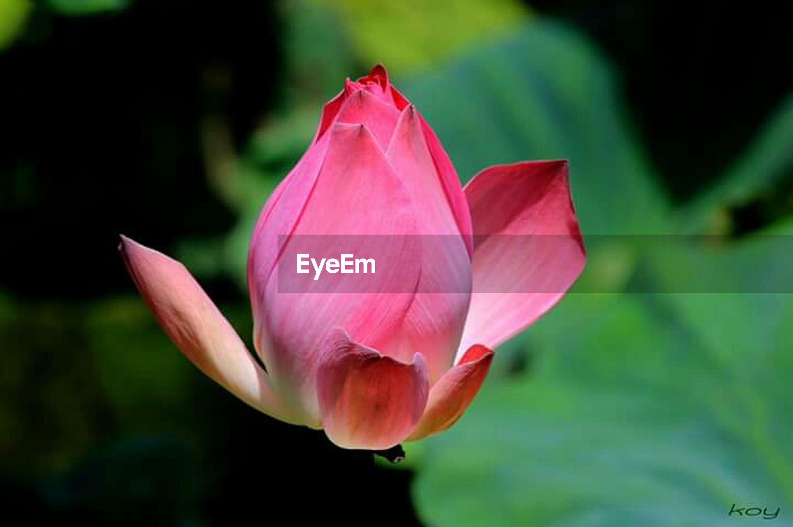 flower, petal, freshness, flower head, pink color, fragility, beauty in nature, growth, single flower, close-up, focus on foreground, nature, blooming, pink, plant, leaf, stem, water lily, in bloom, blossom