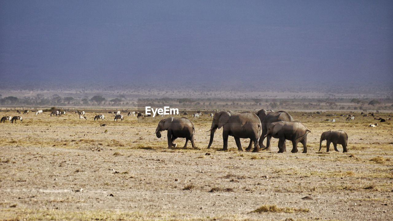 Elephants Standing On Field Against Sky