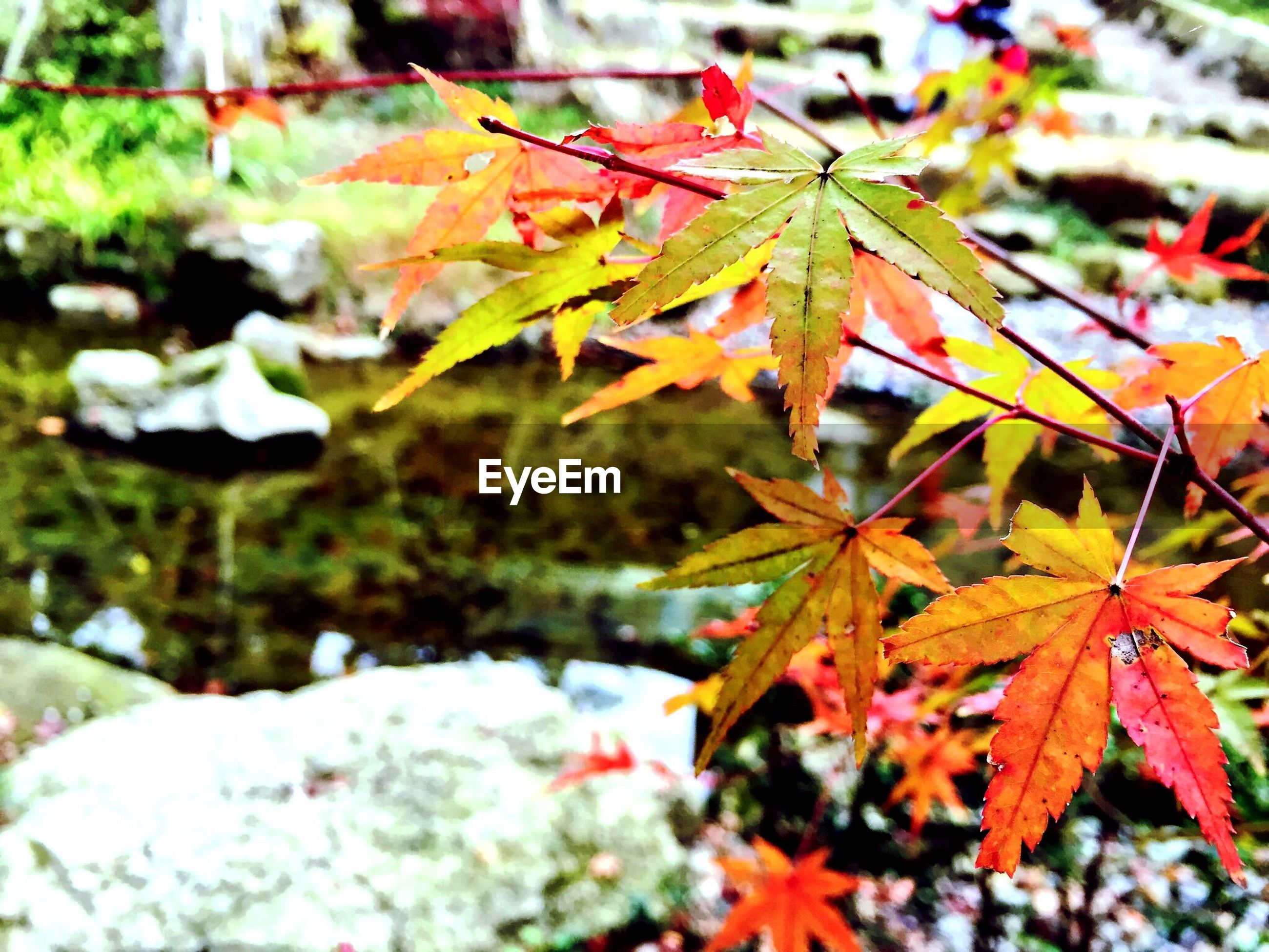 leaf, nature, autumn, change, no people, outdoors, maple leaf, close-up, day, leaves, beauty in nature, tree, maple