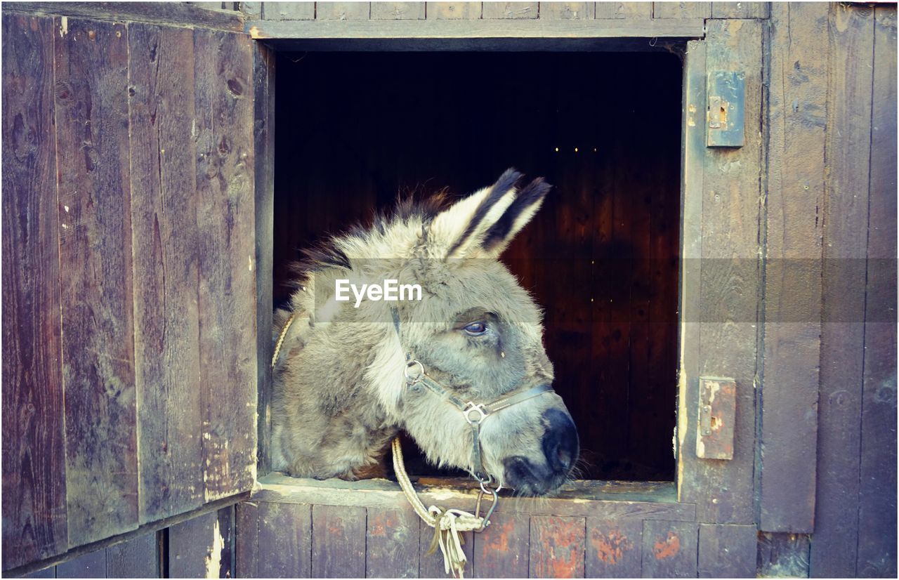 one animal, wood - material, horse, stable, domestic animals, mammal, animal themes, livestock, door, animal head, day, barn, outdoors, no people, close-up
