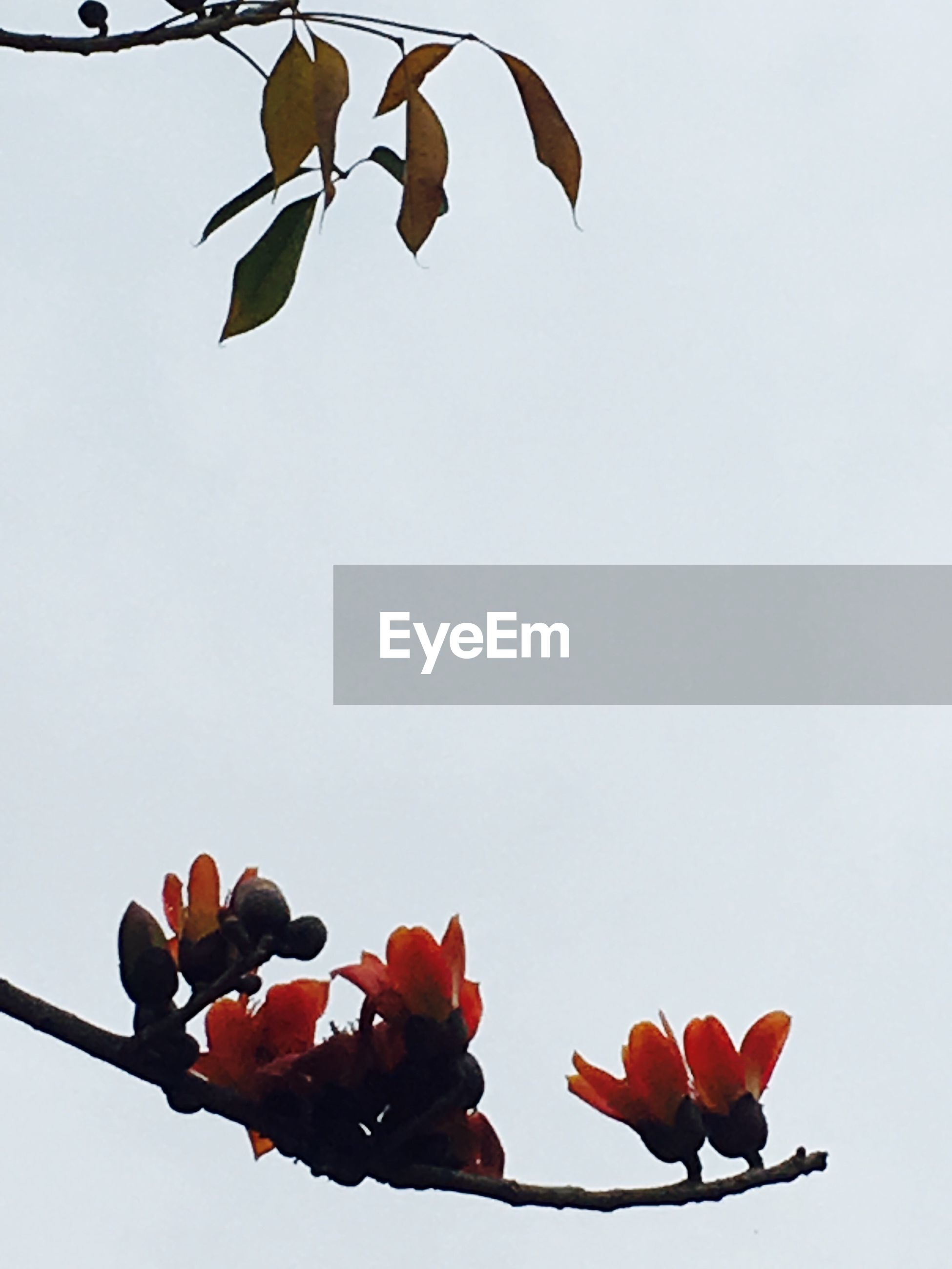 nature, no people, flower, fragility, clear sky, beauty in nature, low angle view, outdoors, day, sky, freshness