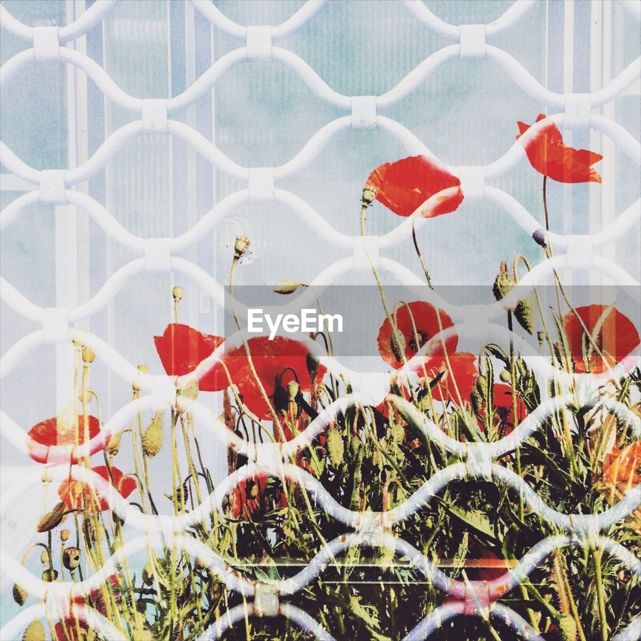Double exposure of metallic fence and poppy flowers