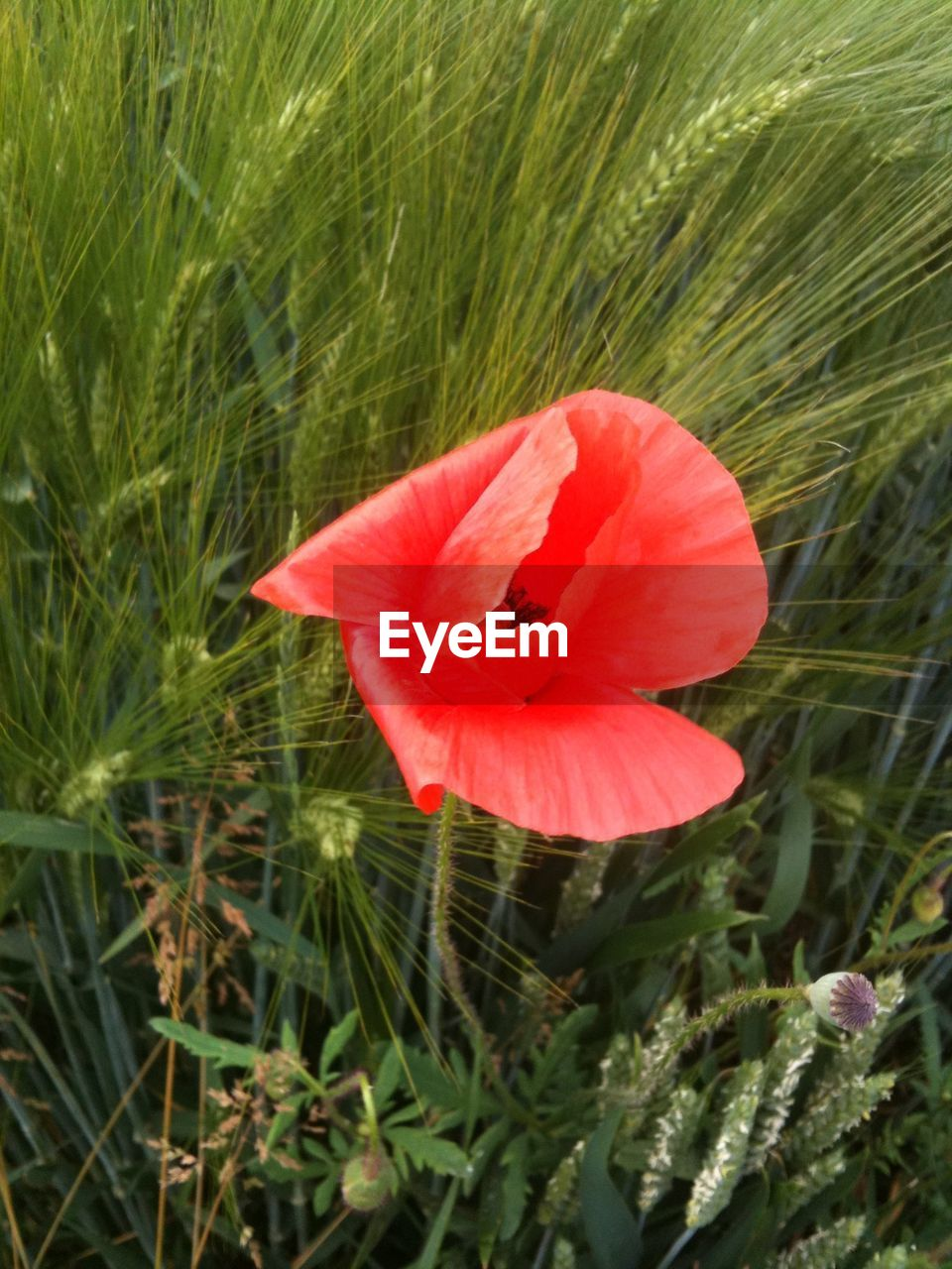 flower, growth, plant, beauty in nature, nature, petal, field, green color, flower head, fragility, freshness, day, blooming, grass, no people, outdoors, poppy, close-up