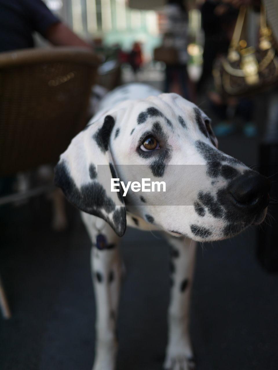 Close-Up Of Dalmatian Dog